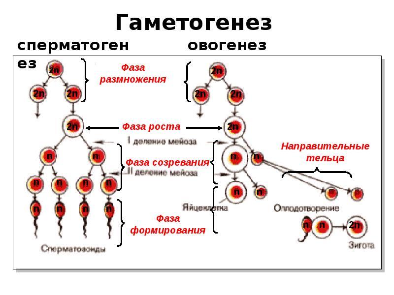 estrogeni-i-spermatogenez