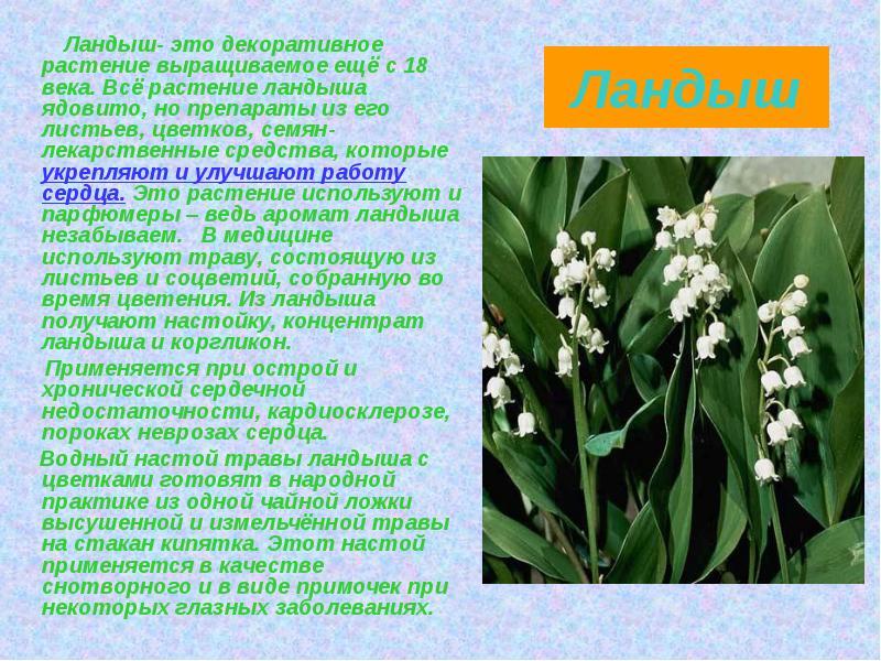 Описания цветка ландыша и