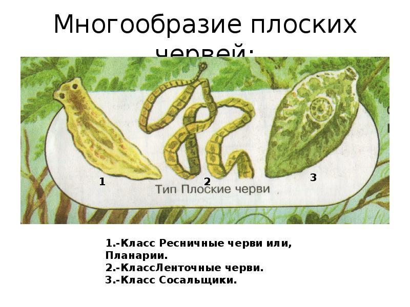 презентация тип плоские черви 7 кл