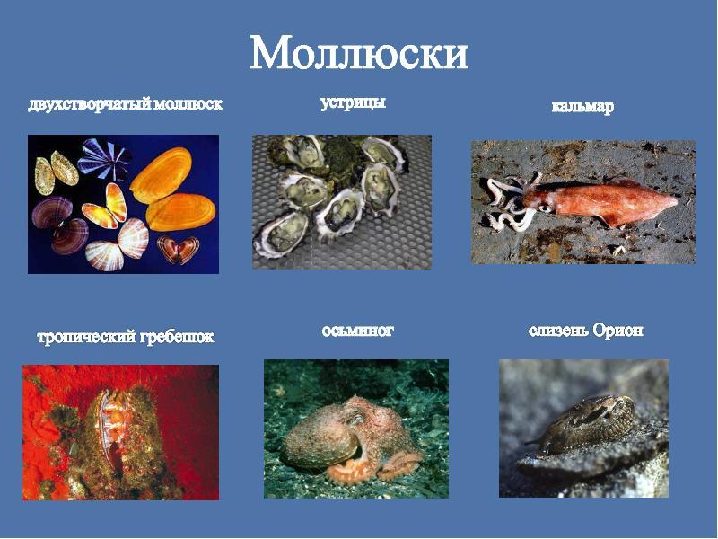 о с доклад картинками моллюсках