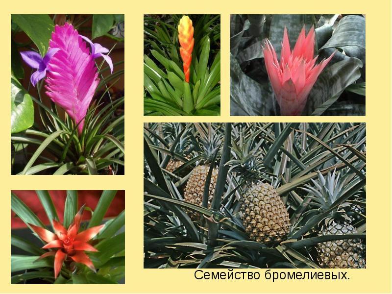 Семейство бромелиевых растений: фото, уход, виды