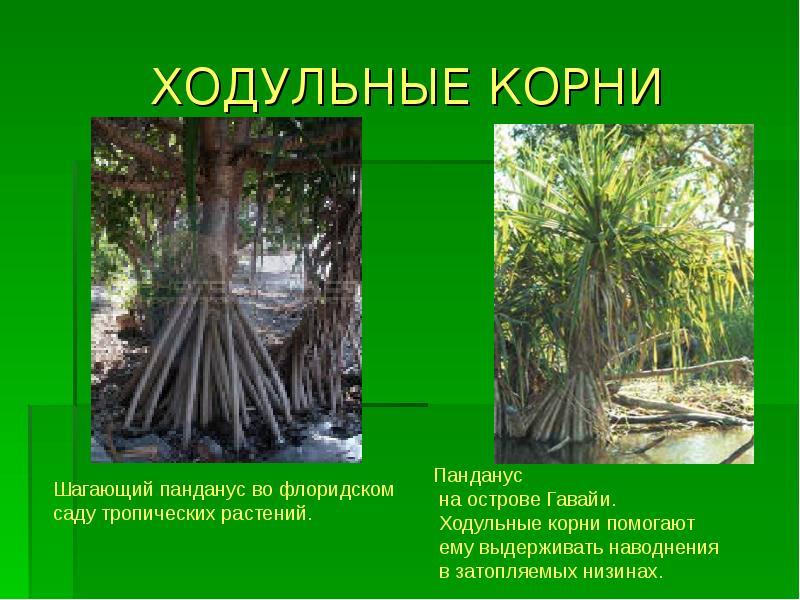 картинки на тему корни нашем