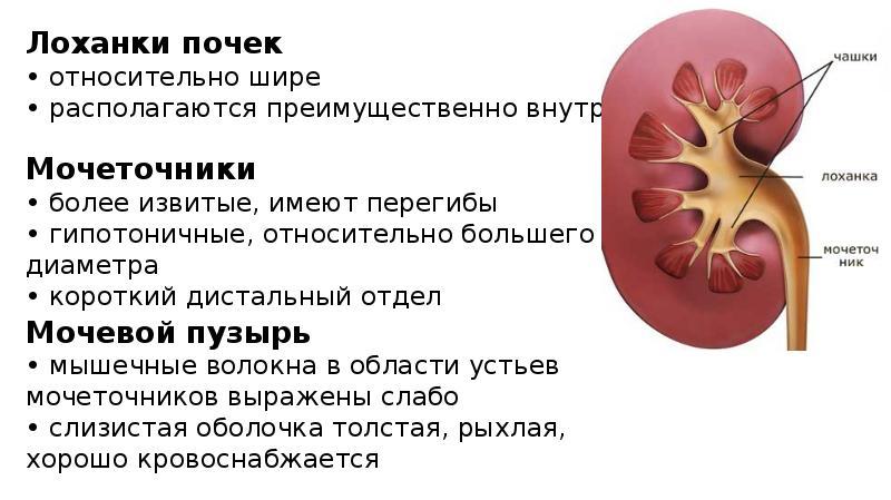 Размеры лоханок почек у беременных 578