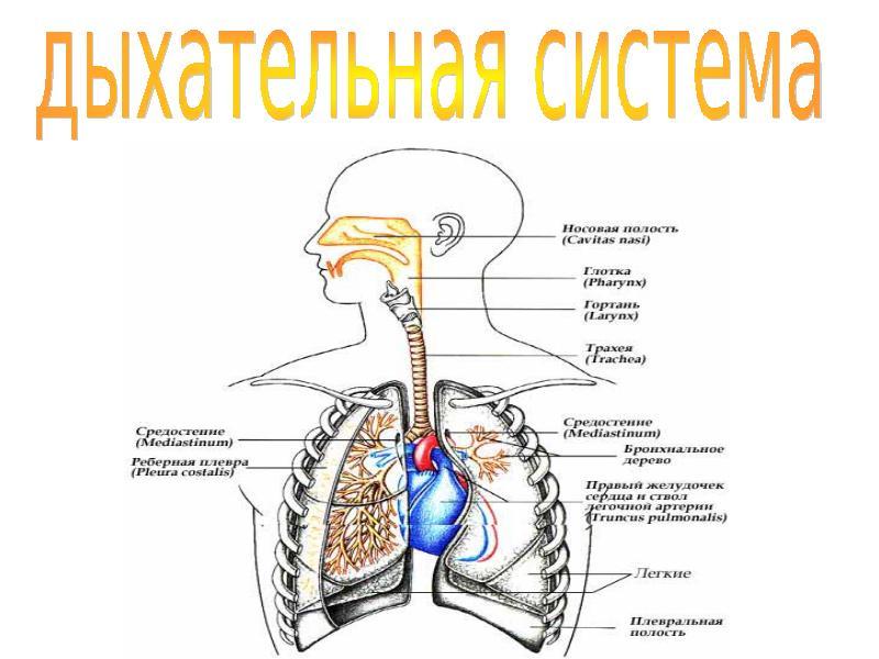 Дыхательная система Курсовая работа т Читать текст оnline  Дыхательная система человека курсовая работа
