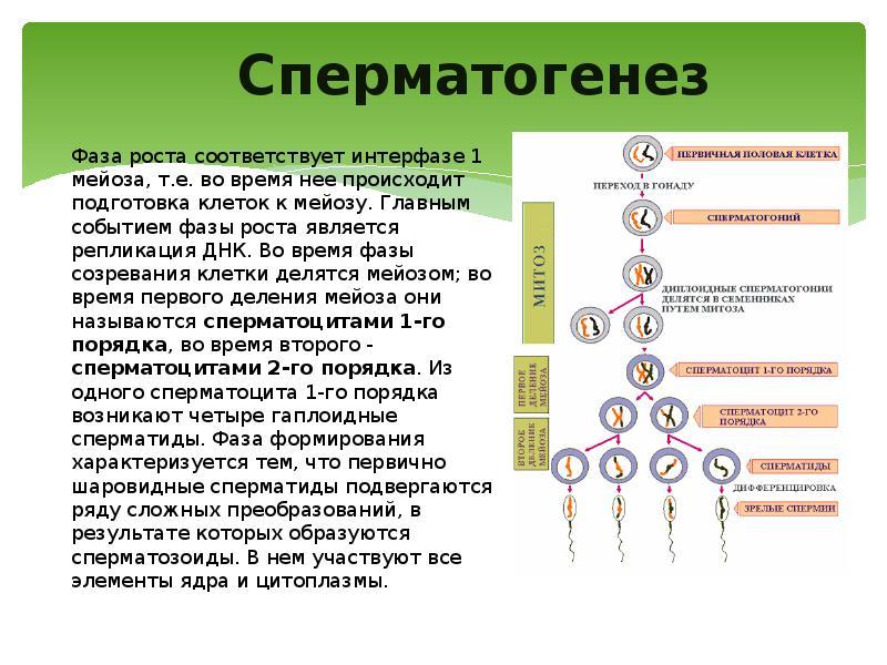 Накопление сперматозоидов в процессе сперматогенеза