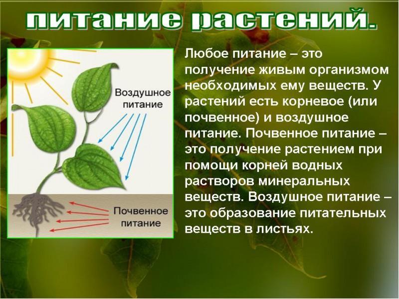 простой доклад воздушное питание фотосинтез классический