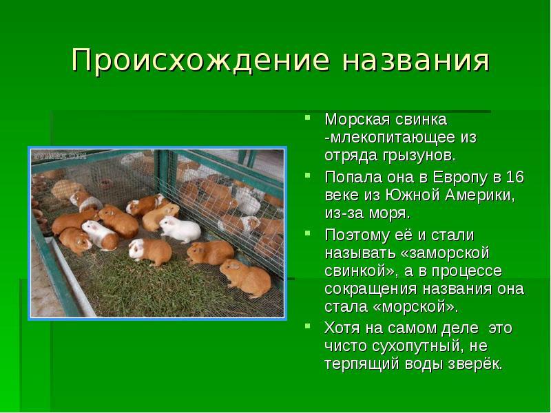 Сообщение о морской свинке