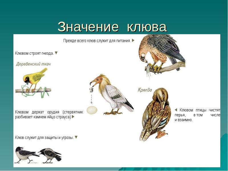 клювы птиц по типу питания картинки