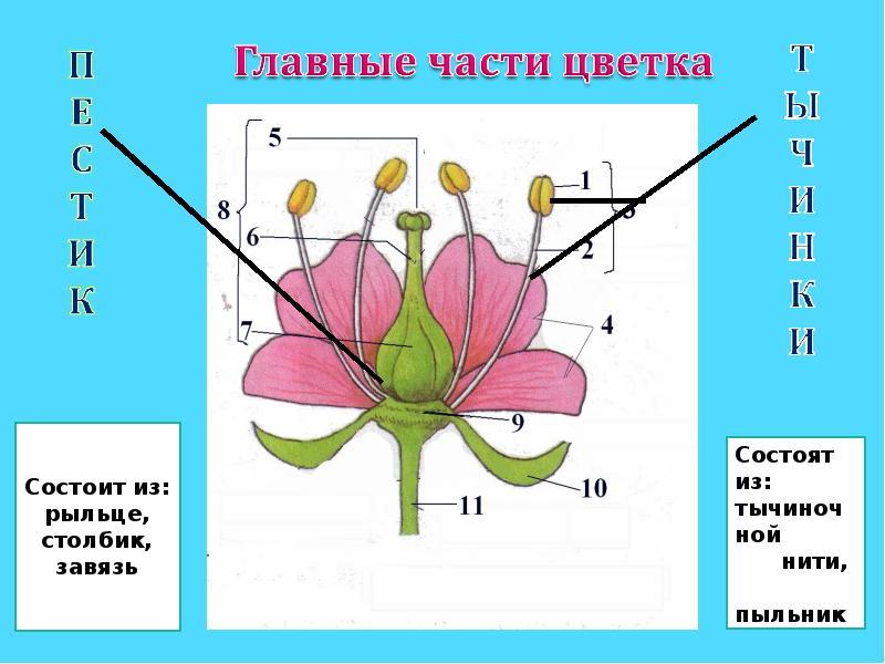 Строение цветка с