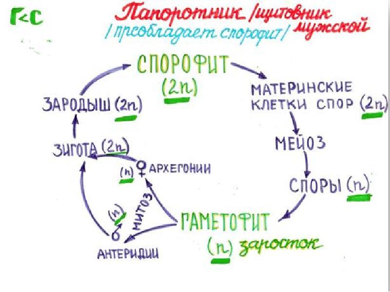 цикл развития папоротника схема с набором хромосом ему было