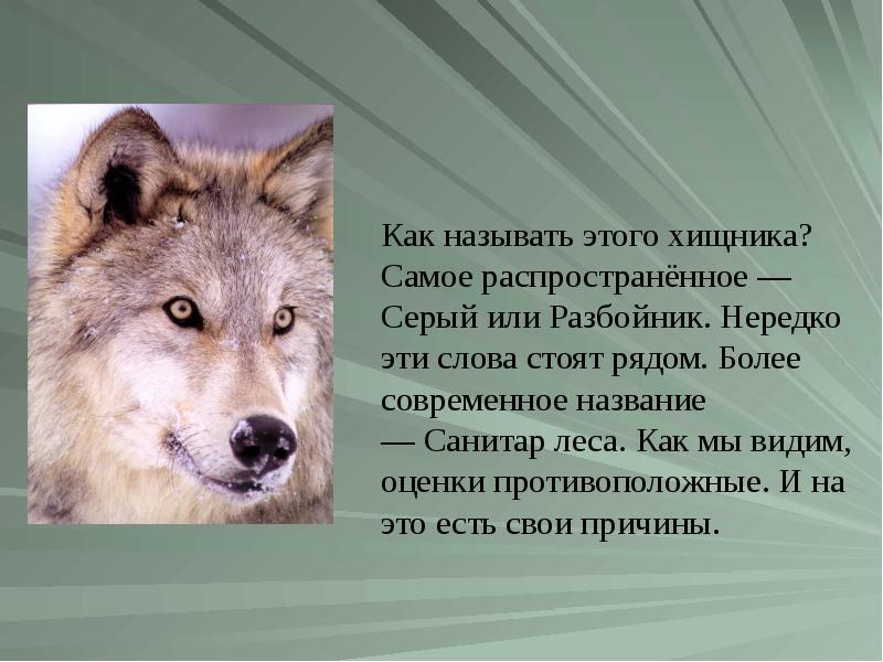 реферат про волков с картинками обработкой фотографий вообще