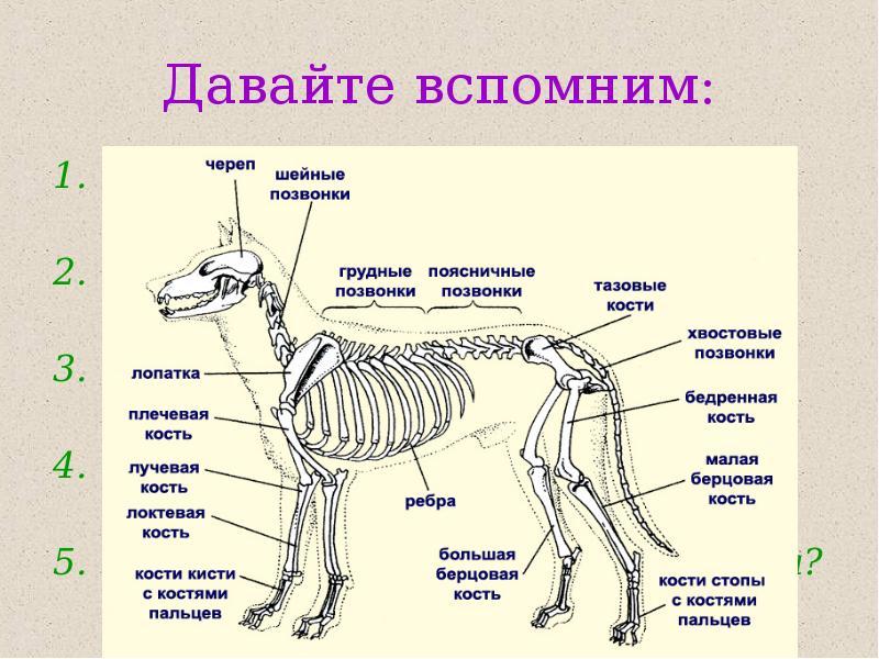решили рассмотрите рисунок напишите названия костей скелета млекопитающих этой серии представляет