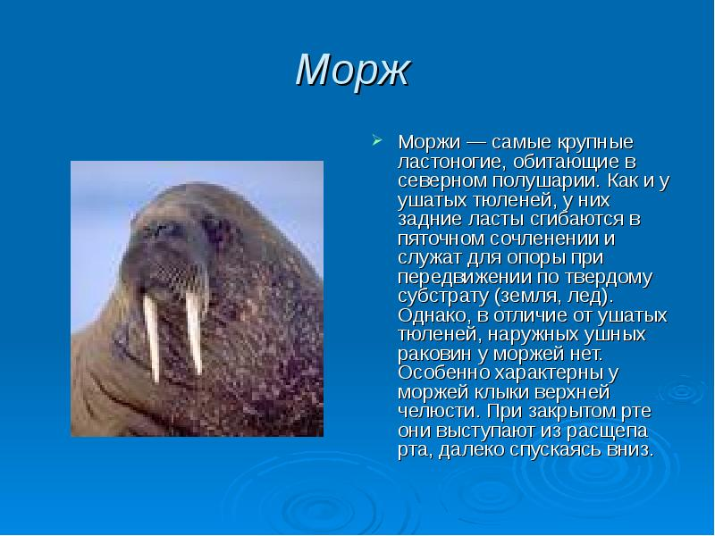 Маленькие моржи вскармливаются матерью около двух лет, а в течение следующих лет они остаются под её опёкой и защитой