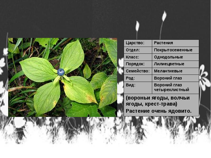 Какие соцветия у лилейных растений