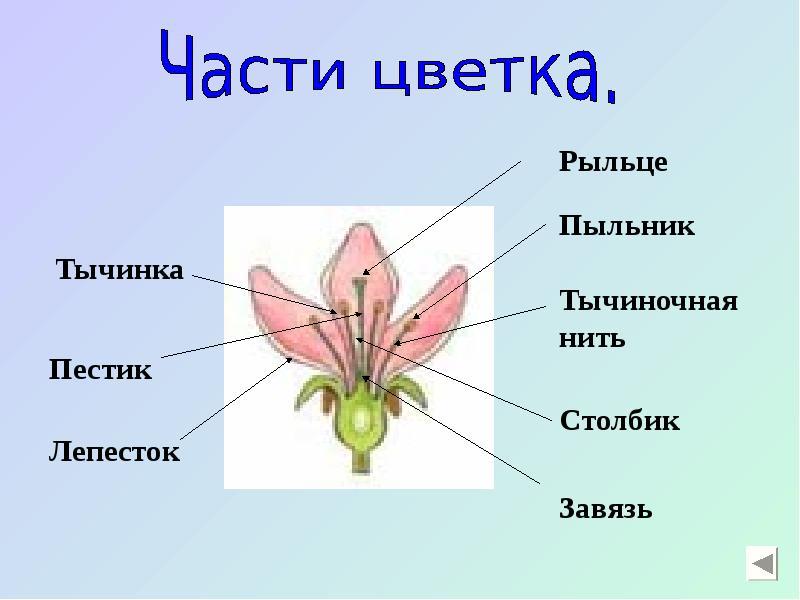 Цветок и все его части картинки