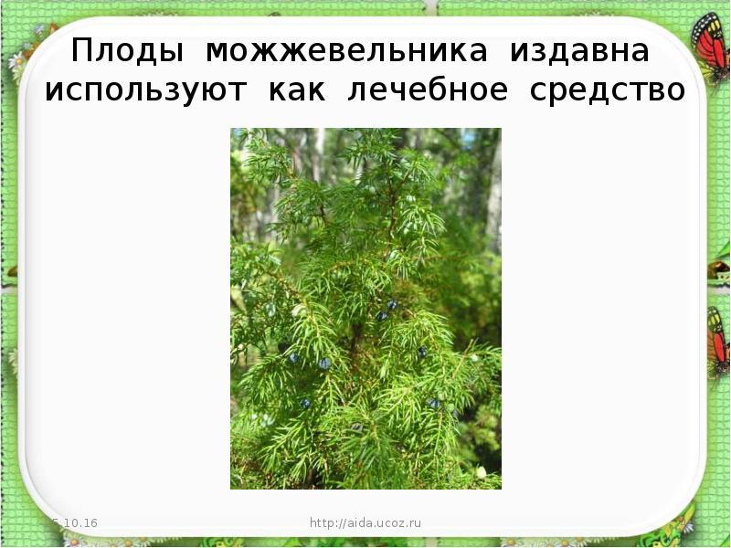 Можжевельник как лекарственное растение