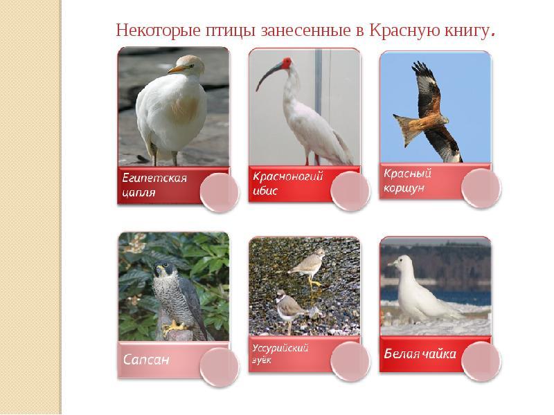 птицы красной книги россии фото и названия название