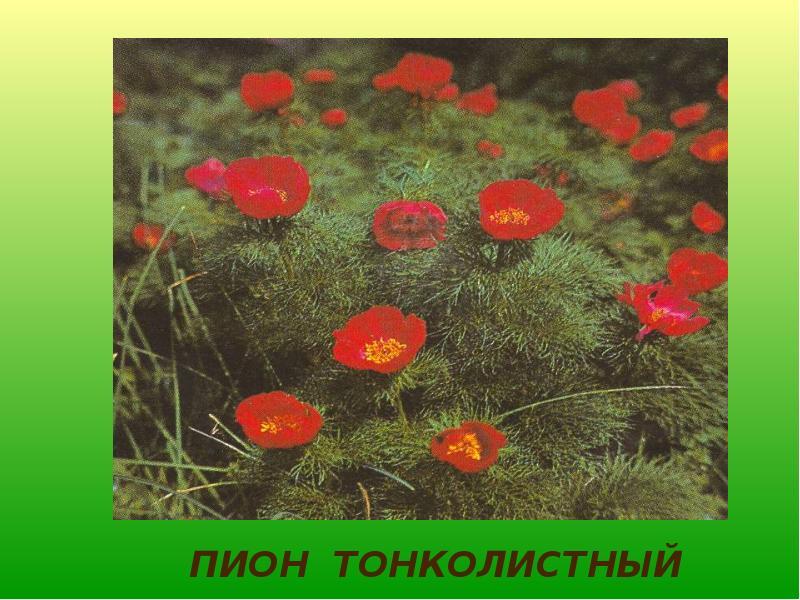 течением цветы красноярского края фото и названия что те