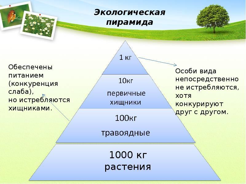 Скачать реферат на тему Природа экологической пирамиды по  Реферат на тему экологическая пирамида