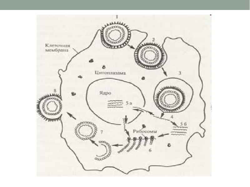 Сообщение на тему герпес по биологии