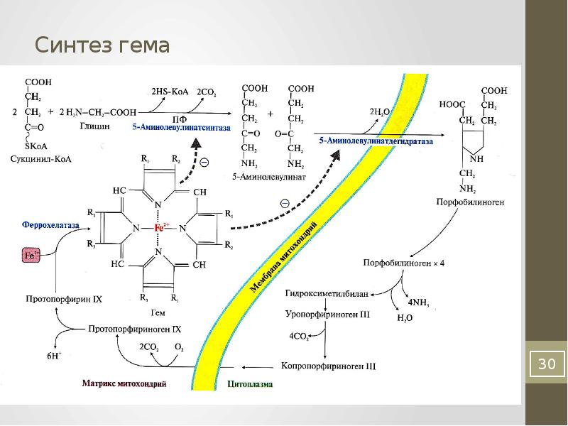 Схема распада гема биохимия