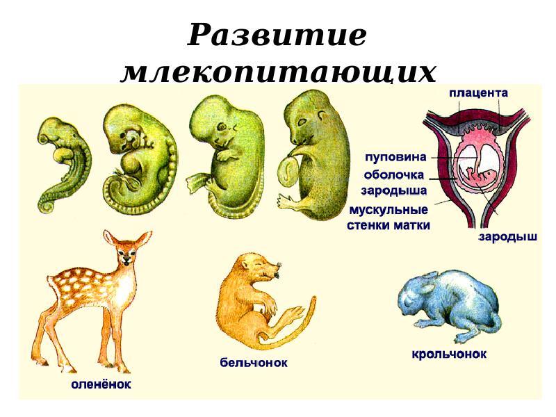 функции развитие и размножение млекопитающих подробно профлиста: определение