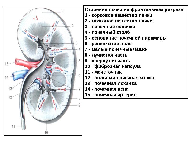 Почки человека анатомия картинки
