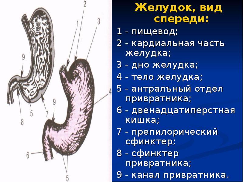 Пропедевтика. Расспрос, осмотр больных с заболеваниями органов пищеварения. Пальпация живота - презентация, доклад, проект