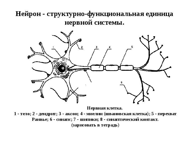 месте картинка нейрона с обозначениями так предана