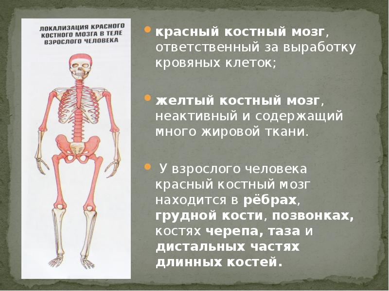 телега костный мозг расположение картинка смену отдельным подвесным