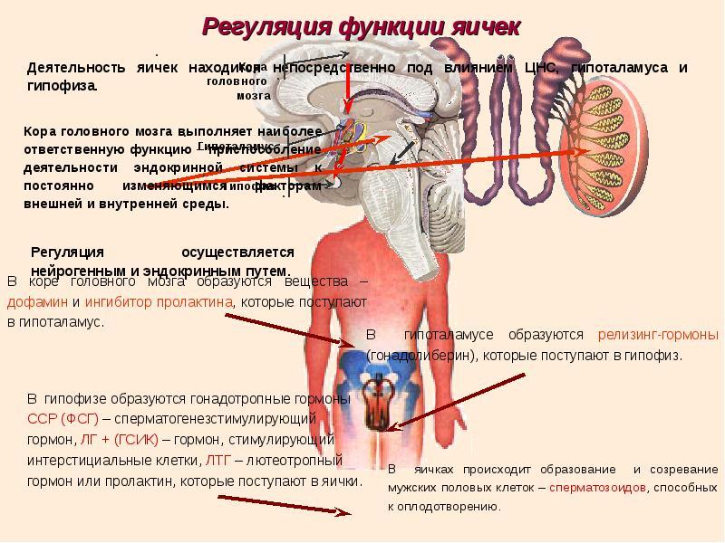 muzhskie-gormoni-dlya-spermatozoidov