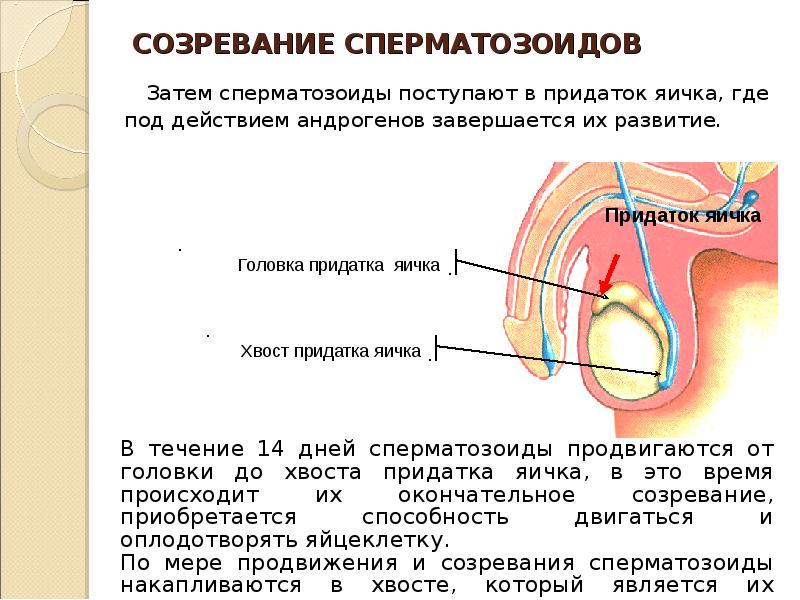 ne-podvizhnie-spermotozoydi