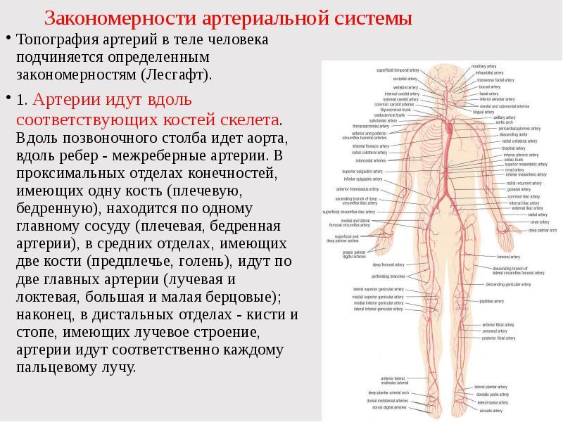 артерии строение в картинках монстры враги