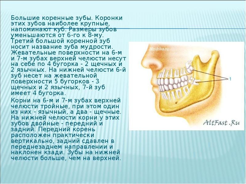 Корень переднего нижнего зуба