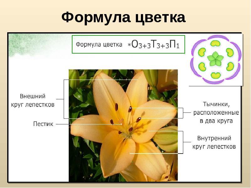 Рисунок формула цветка