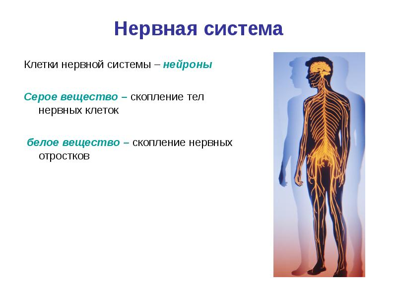 нервная система человека реферат картинки могут