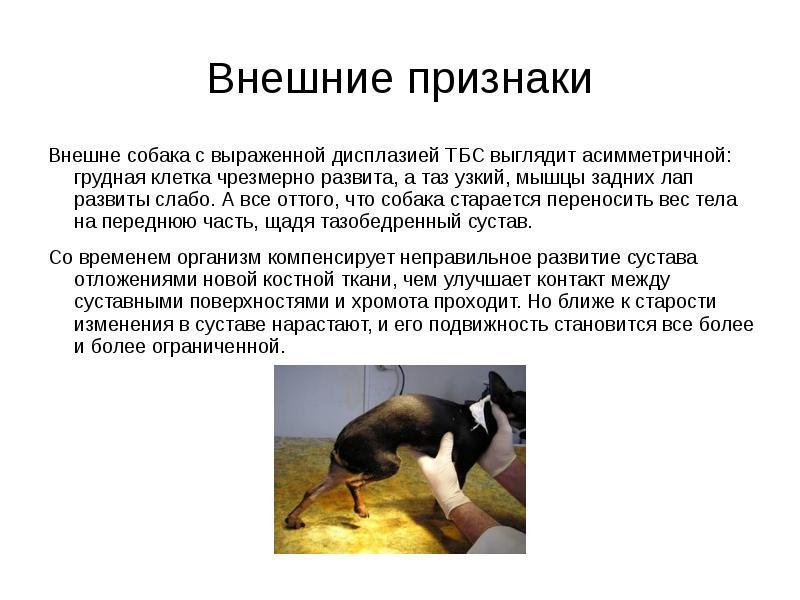 Дисплазия лапы у собаки