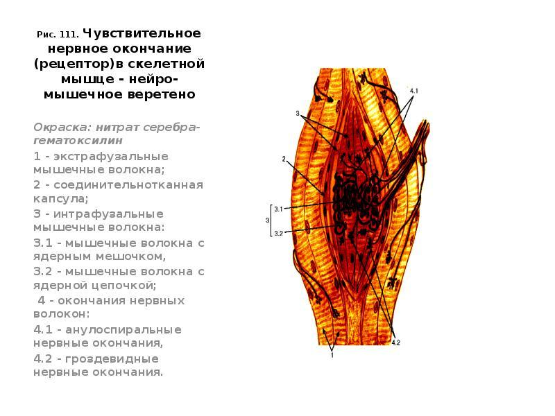 chuvstvitelnost-klitora-nervnie-okonchaniya