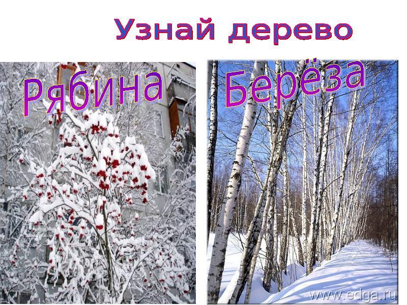 Деревья и кустарники зимой фото и названия