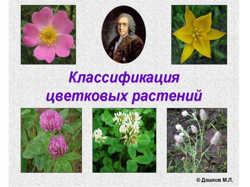 Названия цветка с луковицей с картинками обратившись