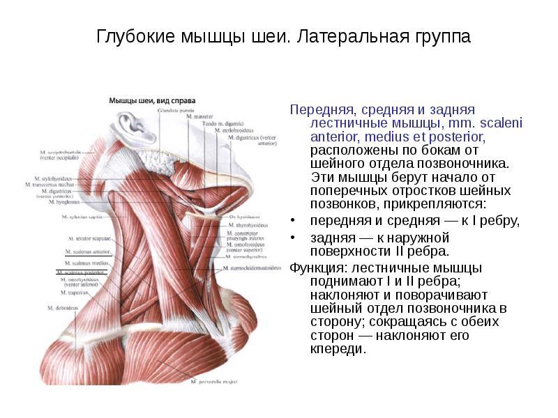 деле мышцы шеи фото с описанием и схемами юбка поможет создать