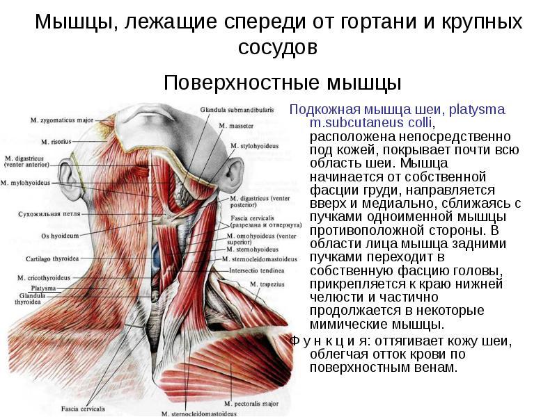 эксперты мышцы шеи фото с описанием и схемами стенах