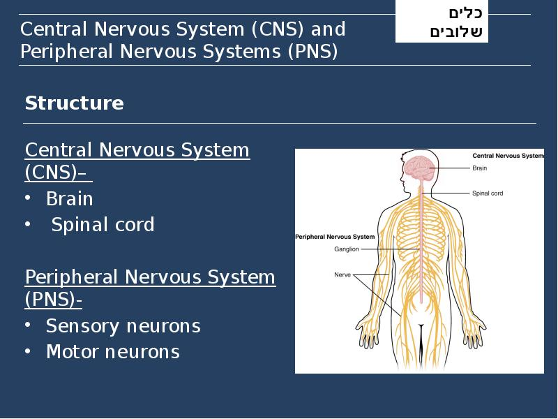 central nervous system The portion of the vertebrate nervous system consisting of the brain and spinal cord 1 the brain and spinal cord of vertebrates 2 the brain and spinal cord system - a group of physiologically or anatomically related organs or parts the body has a system of organs for digestion nervous system.
