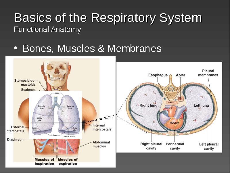 physiology respiratory