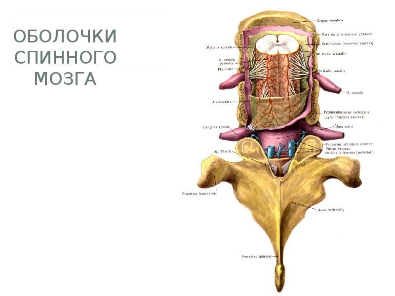 Клиническая анатомия спинного мозга и позвоночника