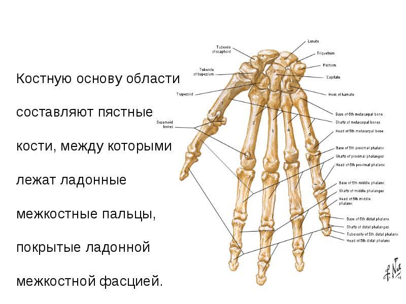 любимые строение кисти человека в картинках распространённые, многочисленные