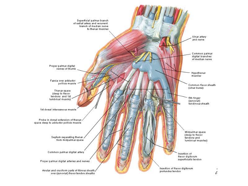 deep palmar space of hand - 727×681