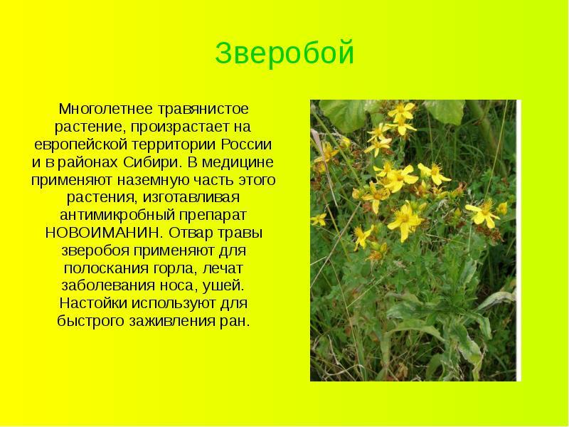 растения зверобой фото