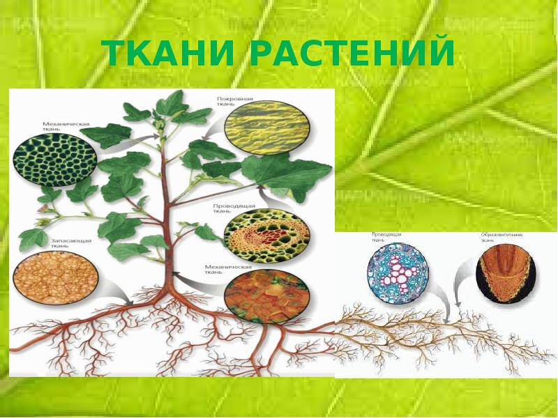 ткани растений и животных рисунок при подготовке солдата