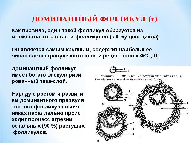 доминирующий фолликул на 8 день цикла 17 мм